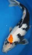 Large Koi Fish For Sale